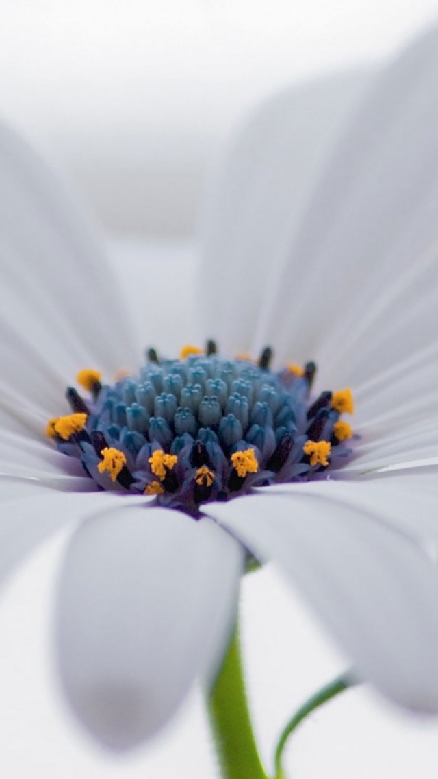 1016 White Osteospermum Flower